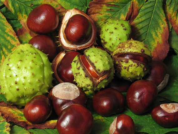 Beware the dreaded and potentially deadly horse chestnut.
